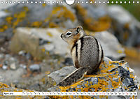 Tierwelt in den Canadian Rockies (Wandkalender 2019 DIN A4 quer) - Produktdetailbild 4