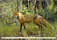 Tierwelt in den Canadian Rockies (Wandkalender 2019 DIN A2 quer) - Produktdetailbild 8