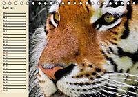 Tiger. Gestreift, wild und schön (Tischkalender 2019 DIN A5 quer) - Produktdetailbild 6