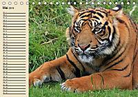 Tiger. Gestreift, wild und schön (Tischkalender 2019 DIN A5 quer) - Produktdetailbild 5