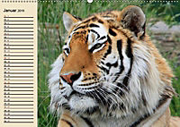 Tiger. Gestreift, wild und schön (Wandkalender 2019 DIN A2 quer) - Produktdetailbild 1