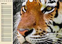 Tiger. Gestreift, wild und schön (Wandkalender 2019 DIN A4 quer) - Produktdetailbild 6