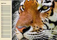 Tiger. Gestreift, wild und schön (Wandkalender 2019 DIN A2 quer) - Produktdetailbild 6