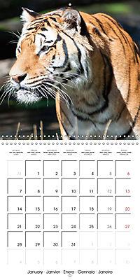 Tiger - The Beautiful Predator (Wall Calendar 2019 300 × 300 mm Square) - Produktdetailbild 1