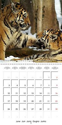 Tiger - The Beautiful Predator (Wall Calendar 2019 300 × 300 mm Square) - Produktdetailbild 6