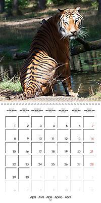 Tiger - The Beautiful Predator (Wall Calendar 2019 300 × 300 mm Square) - Produktdetailbild 4