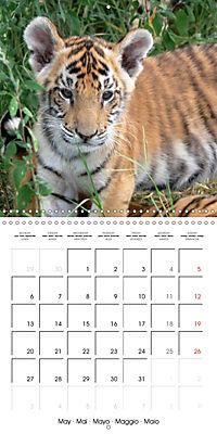 Tiger - The Beautiful Predator (Wall Calendar 2019 300 × 300 mm Square) - Produktdetailbild 5