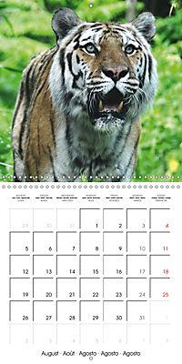 Tiger - The Beautiful Predator (Wall Calendar 2019 300 × 300 mm Square) - Produktdetailbild 8