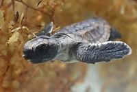 Tortuga - Die unglaubliche Reise der Meeresschildkröte - Produktdetailbild 5