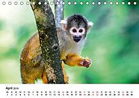 Totenkopfaffen (Tischkalender 2019 DIN A5 quer) - Produktdetailbild 4