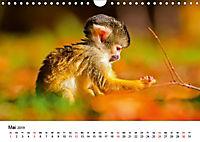 Totenkopfaffen (Wandkalender 2019 DIN A4 quer) - Produktdetailbild 5