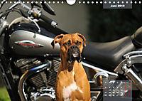 Typisch Boxer (Wandkalender 2019 DIN A4 quer) - Produktdetailbild 6