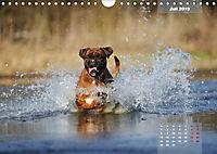 Typisch Boxer (Wandkalender 2019 DIN A4 quer) - Produktdetailbild 7