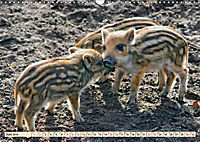 Unverwechselbar - Wildschwein (Wandkalender 2019 DIN A3 quer) - Produktdetailbild 6