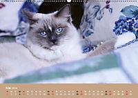 Verliebt in Ragdolls ... die sanfte Katzenrasse (Wandkalender 2019 DIN A2 quer) - Produktdetailbild 5