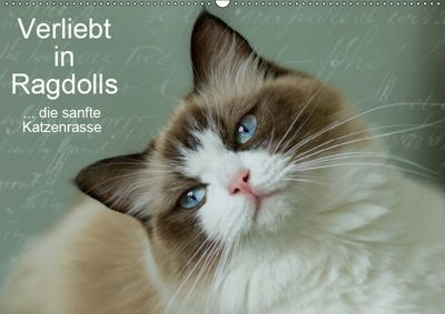 Verliebt in Ragdolls ... die sanfte Katzenrasse (Wandkalender 2019 DIN A2 quer), Marion Reiss-Seibert