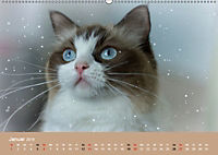 Verliebt in Ragdolls ... die sanfte Katzenrasse (Wandkalender 2019 DIN A2 quer) - Produktdetailbild 1