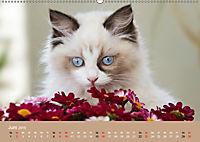 Verliebt in Ragdolls ... die sanfte Katzenrasse (Wandkalender 2019 DIN A2 quer) - Produktdetailbild 6