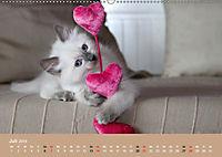 Verliebt in Ragdolls ... die sanfte Katzenrasse (Wandkalender 2019 DIN A2 quer) - Produktdetailbild 7