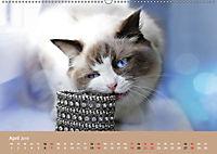 Verliebt in Ragdolls ... die sanfte Katzenrasse (Wandkalender 2019 DIN A2 quer) - Produktdetailbild 4