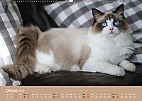Verliebt in Ragdolls ... die sanfte Katzenrasse (Wandkalender 2019 DIN A2 quer) - Produktdetailbild 10