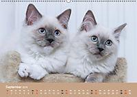 Verliebt in Ragdolls ... die sanfte Katzenrasse (Wandkalender 2019 DIN A2 quer) - Produktdetailbild 9