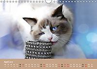 Verliebt in Ragdolls ... die sanfte Katzenrasse (Wandkalender 2019 DIN A4 quer) - Produktdetailbild 4