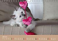 Verliebt in Ragdolls ... die sanfte Katzenrasse (Wandkalender 2019 DIN A4 quer) - Produktdetailbild 7
