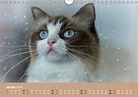 Verliebt in Ragdolls ... die sanfte Katzenrasse (Wandkalender 2019 DIN A4 quer) - Produktdetailbild 1