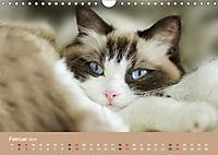 Verliebt in Ragdolls ... die sanfte Katzenrasse (Wandkalender 2019 DIN A4 quer) - Produktdetailbild 2