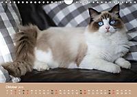 Verliebt in Ragdolls ... die sanfte Katzenrasse (Wandkalender 2019 DIN A4 quer) - Produktdetailbild 10