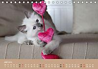 Verliebt in Ragdolls ... die sanfte Katzenrasse (Tischkalender 2019 DIN A5 quer) - Produktdetailbild 7