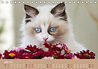 Verliebt in Ragdolls ... die sanfte Katzenrasse (Tischkalender 2019 DIN A5 quer) - Produktdetailbild 6