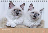Verliebt in Ragdolls ... die sanfte Katzenrasse (Tischkalender 2019 DIN A5 quer) - Produktdetailbild 9