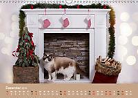 Verliebt in Ragdolls ... die sanfte Katzenrasse (Wandkalender 2019 DIN A3 quer) - Produktdetailbild 12