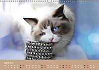 Verliebt in Ragdolls ... die sanfte Katzenrasse (Wandkalender 2019 DIN A3 quer) - Produktdetailbild 4