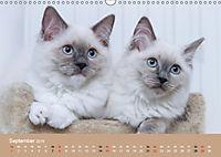 Verliebt in Ragdolls ... die sanfte Katzenrasse (Wandkalender 2019 DIN A3 quer) - Produktdetailbild 9