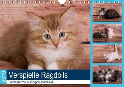 Verspielte Ragdolls -Sanfte Katzen in seidigem Haarkleid (Wandkalender 2019 DIN A4 quer), Fotodesign Verena Scholze