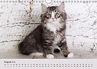 Verspielte Ragdolls -Sanfte Katzen in seidigem Haarkleid (Wandkalender 2019 DIN A4 quer) - Produktdetailbild 8