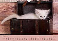 Verspielte Ragdolls -Sanfte Katzen in seidigem Haarkleid (Wandkalender 2019 DIN A4 quer) - Produktdetailbild 6