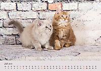 Verspielte Ragdolls -Sanfte Katzen in seidigem Haarkleid (Wandkalender 2019 DIN A4 quer) - Produktdetailbild 7
