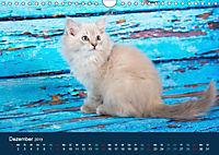 Verspielte Ragdolls -Sanfte Katzen in seidigem Haarkleid (Wandkalender 2019 DIN A4 quer) - Produktdetailbild 12
