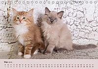 Verspielte Ragdolls -Sanfte Katzen in seidigem Haarkleid (Tischkalender 2019 DIN A5 quer) - Produktdetailbild 5