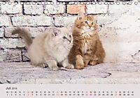Verspielte Ragdolls -Sanfte Katzen in seidigem Haarkleid (Tischkalender 2019 DIN A5 quer) - Produktdetailbild 7