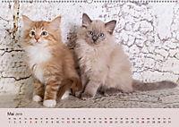 Verspielte Ragdolls -Sanfte Katzen in seidigem Haarkleid (Wandkalender 2019 DIN A2 quer) - Produktdetailbild 5