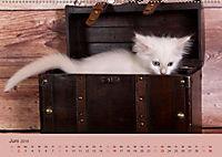 Verspielte Ragdolls -Sanfte Katzen in seidigem Haarkleid (Wandkalender 2019 DIN A2 quer) - Produktdetailbild 6