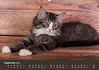Verspielte Ragdolls -Sanfte Katzen in seidigem Haarkleid (Wandkalender 2019 DIN A2 quer) - Produktdetailbild 9