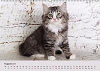 Verspielte Ragdolls -Sanfte Katzen in seidigem Haarkleid (Wandkalender 2019 DIN A2 quer) - Produktdetailbild 8