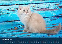 Verspielte Ragdolls -Sanfte Katzen in seidigem Haarkleid (Wandkalender 2019 DIN A2 quer) - Produktdetailbild 12