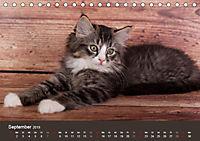 Verspielte Ragdolls -Sanfte Katzen in seidigem Haarkleid (Tischkalender 2019 DIN A5 quer) - Produktdetailbild 9